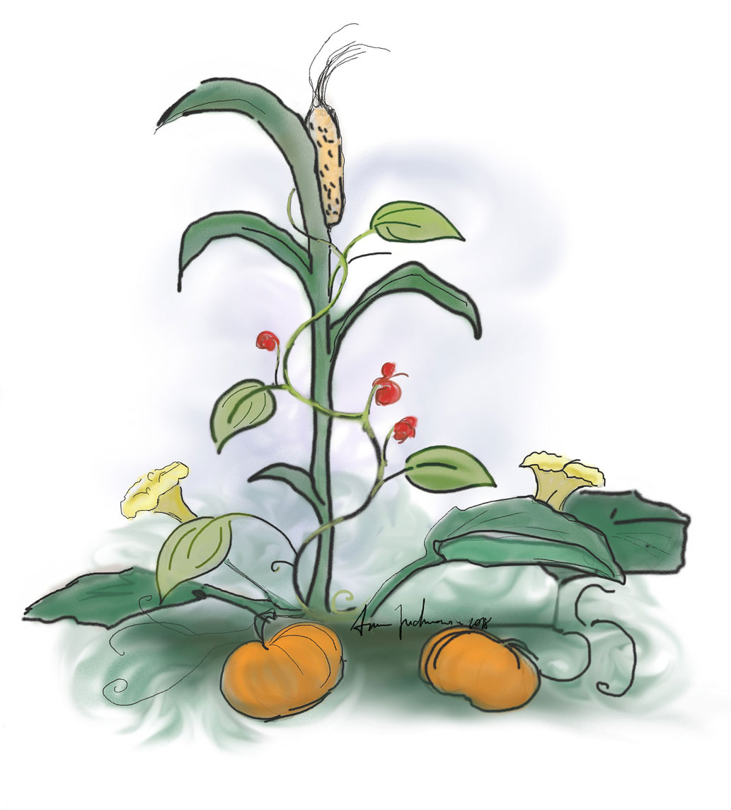 A colorful cartoon shows squash, corn, and beans planted together. The corn grows the tallest, and the bean plant climbs up, circling the corn stalk. The squash plant, with big leaves and flowers, grows along the ground under the two other plants.